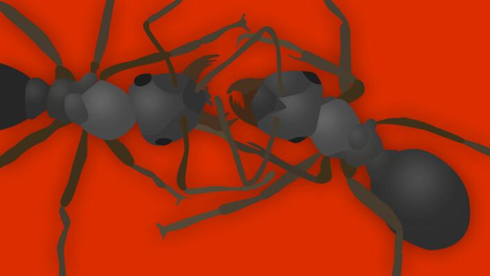 Maurkrig er kamp uten nåde. Maurene river hverandre i filler. (Foto: (Illustrasjon: Arnfinn Christensen, forskning.no))