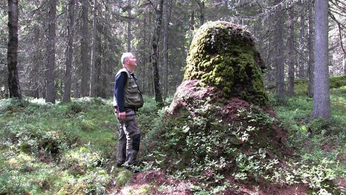 Maurforsker Torstein Kvamme foran den største kjente maurtua i Norge, to meter og 38 centimeter høy. Det norske kuperte terrenget med sydvendte, solrike skråninger fungerer som varmefangere for maurene. Dermed kan de leve lengre nord enn klimaet ellers skulle tilsi. (Foto: Arnfinn Christensen, forskning.no)