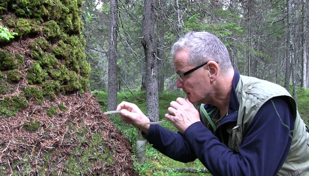 Når Torstein Kvamme skal studere maur nærmere, suger han dem opp med et sugerør som er koblet innom et prøveglass. (Foto: Arnfinn Christensen, forskning.no)