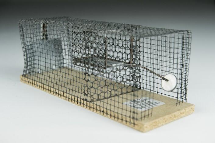 Svenskene lager feller med tanke på at musene skal ut i det fri.  (Foto: Benjamin A. Ward, HiOA)