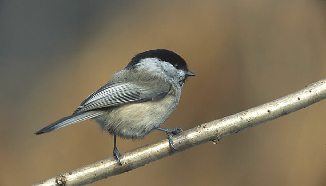 Tøffe tider for enslige småfugler