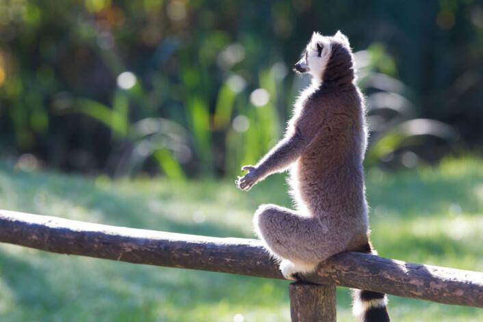 Lemurene i denne arten ser sjelden sine familiemedlemmer, da de bor i forskjellige trær og finner maten på ulike steder.  Illustrasjonsfoto: Colourbox