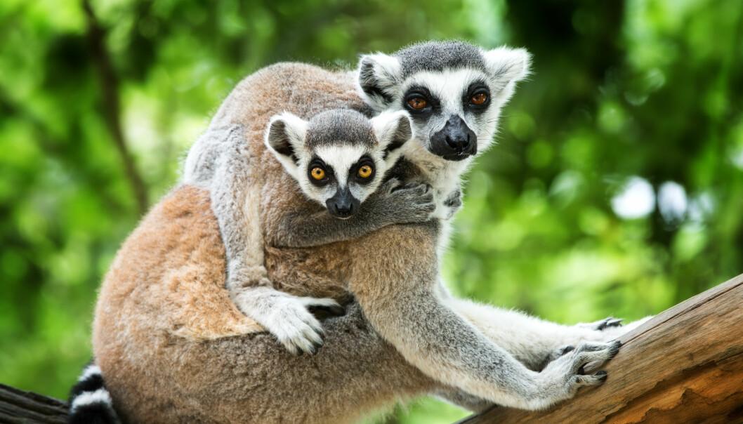 Lepilemur leucopus-lemurene er nattdyr som foretrekker å gjemmer seg i skyggen og i trærne i løpet av dagen.  Illustrasjonsfoto: Colourbox