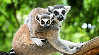 Lemurer utveksler informasjon gjennom urin