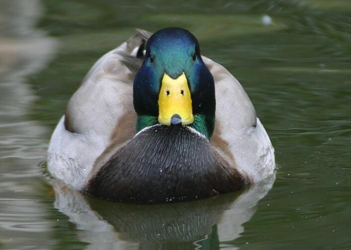 """Hos stokkand er fjærdrakten til hannen veldig forskjellig fra hunnens. Hannen er lett gjenkjennelig med flott fargespill i grønt, blått, hvitt, sølv og svart. (Foto: Jon Sullivan, <a href=""""http://creativecommons.org/publicdomain/zero/1.0/deed.no"""">Creative Commons</a>)"""