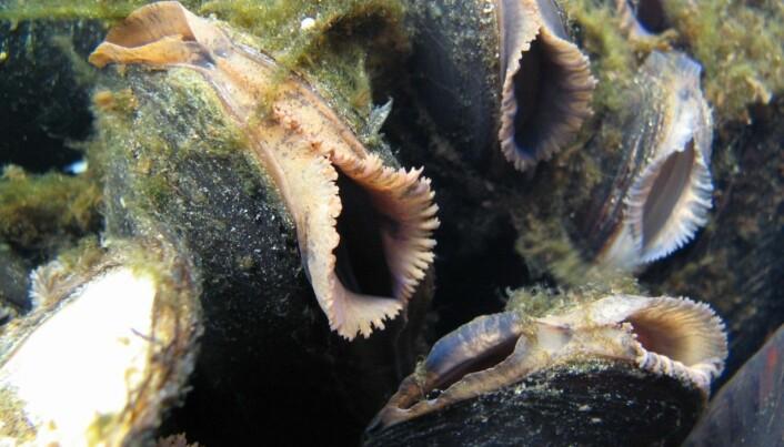 Forskere ved NINA har oppdaget at det kun er muslinglarver på ørret i noen elver, men utelukkende på laks i andre, selv om både laks og ørret er tilstede. (Foto: Bjørn Mejdell Larsen, NINA)