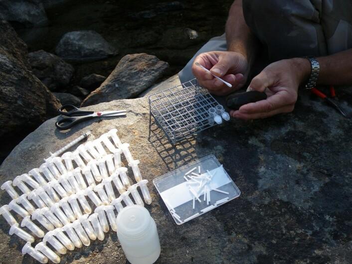 Etter å ha studert elvemuslingene i elva, fikk forskerne mistanker om at de hadde med to forskjellige grupper elvemuslinger å gjøre. Det bekreftet DNA-analysene.  (Foto: Jon M. Bjerland)