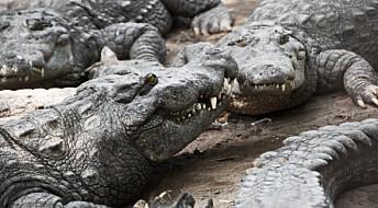 Slik jakter krokodillen