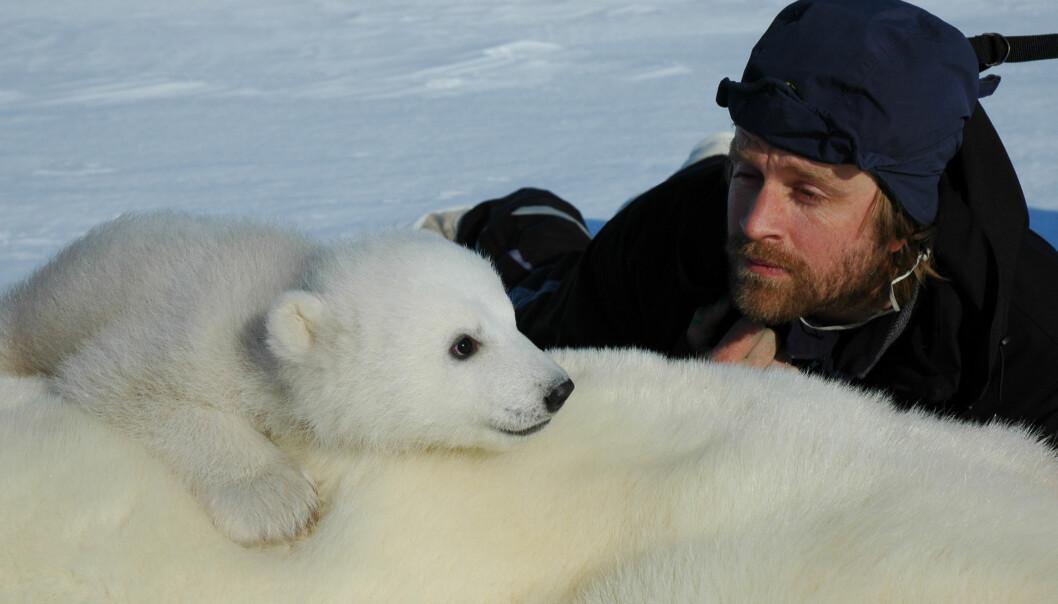Isbjørnforsker Jon Aars ved Norsk Polarinstitutt, her i nærkontakt med en binne og isbjørnunge. Binna er bedøvd, og ungen er ennå ikke redd mennesker. (Foto: Jon Aars/Norsk Polarinstitutt)