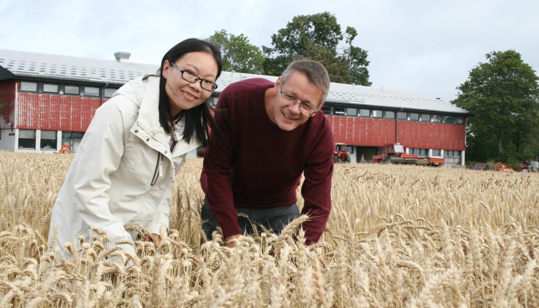 Stipendiat Min Lin og forsker Morten Lillemo ser på hvordan soppsykdommene har påvirket plantene i feltforsøk med mange forskjellige hvetesorter. (Foto: Janne Karin Brodin)