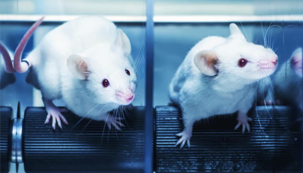 Når rottene trente ble endringene nikotinen hadde gjort i hjernen deres reversert. Det skjedde ikke hos rottene som slappet av, selv om de ikke lenger fikk nikotin. (Illustrasjonsfoto: Marques, Shutterstock, NTB scanpix)