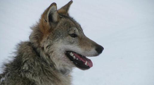 Slik påvirker ulven elgjakta