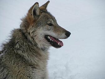 Ulvens viktigste byttedyr er elg. Her en hannvalp i Bograngenreviret i Finnskogen som ble GPS-merket av forskerne nå i vinter. (Foto: Barbara Zimmermann)