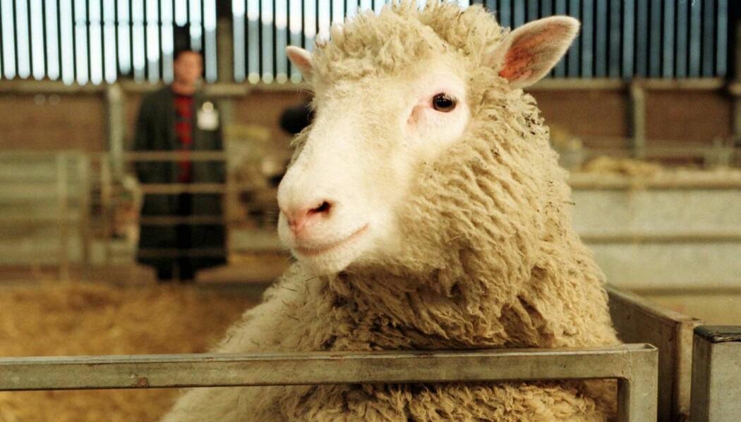 Sauen Dolly var verdens første klonede dyr, her avbildet i 1997. Nå har det samme forskermiljøet brukt CRISPR-teknologi til å genmodifisere sauer til å få en dødelig barnesykdom. (Foto: AP)