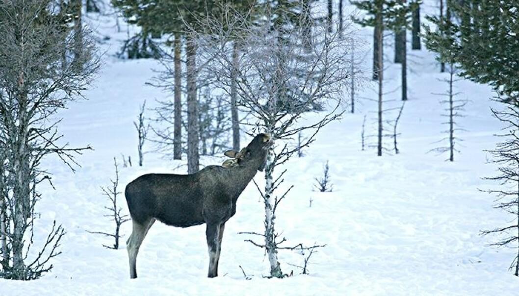 Elg påfører skogen mye beiteskader. Kan ulven hjelpe oss? (Foto: SLU/INN/Kjell Erik Moseid