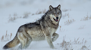 Ulven redder ikke skogen