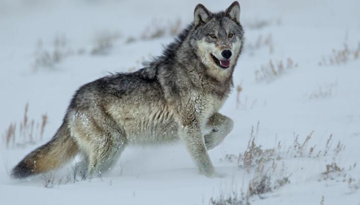 Den mest kjente historien om at rovdyr kan skape kaskadeeffekter i naturen handler om ulvene i Yellowstone nasjonalpark. Norske og svenske forskere har nå undersøkt en tilsvarende hypotese om ulven i det skandinaviske økosystemet. De fant liten eller ingen sammenheng. (Foto: Agnieszka Bacal / Shutterstock / NTB scanpix)