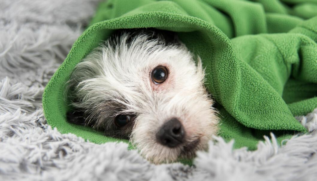 Mange hunder er de siste dagene kommet til veterinær med de samme symptomene. (Illustrasjonsfoto: Anna Hoychuk / Shutterstock / NTB scanpix)