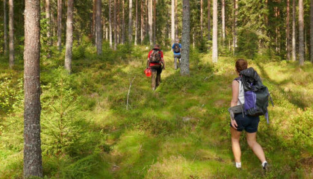 Forskere på vei inn i til forsøksfeltene for å sanke og registrere tyttebær. (Foto/CC: Mathias Amundsen)