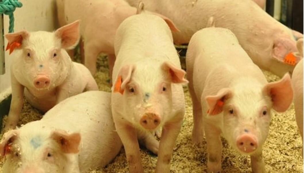 En gruppe klinisk friske griser infisert med Mycobacterium avium.  (Foto: Ingunn Ruud, Veterinærinstituttet)