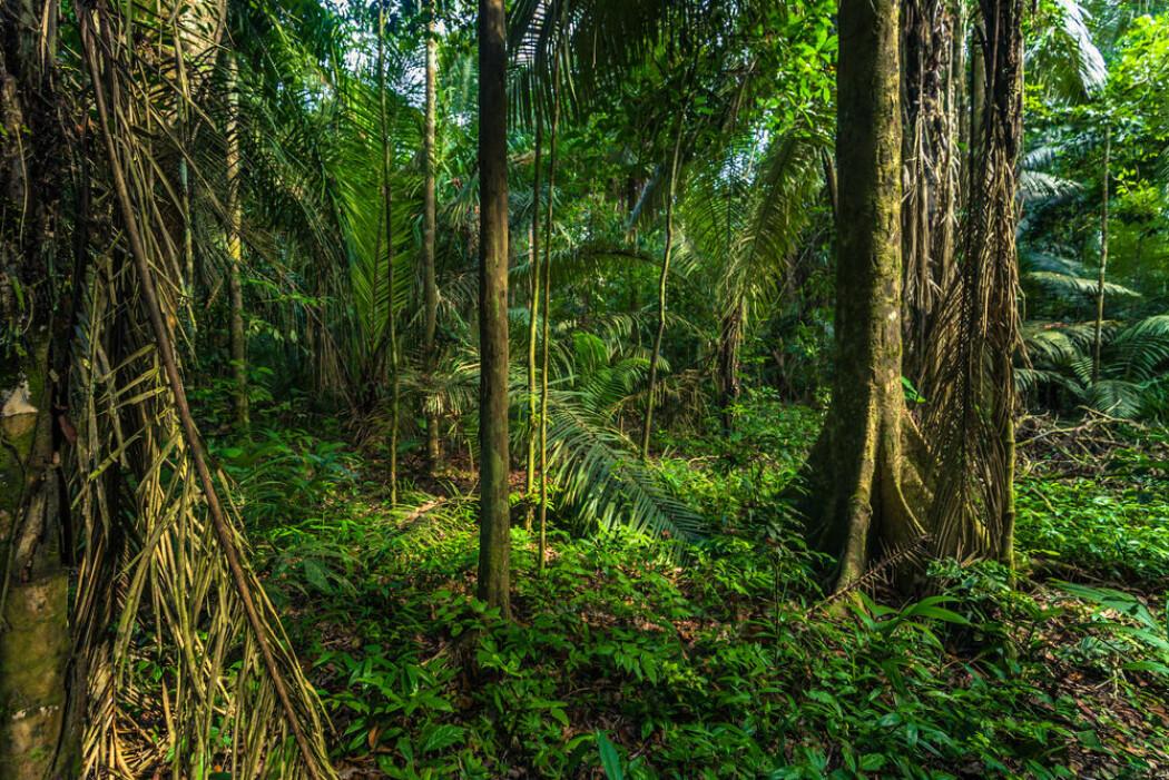 Amazonas i Manu nasjonalpark i Peru. (Foto: Shutterstock / NTB Scanpix)