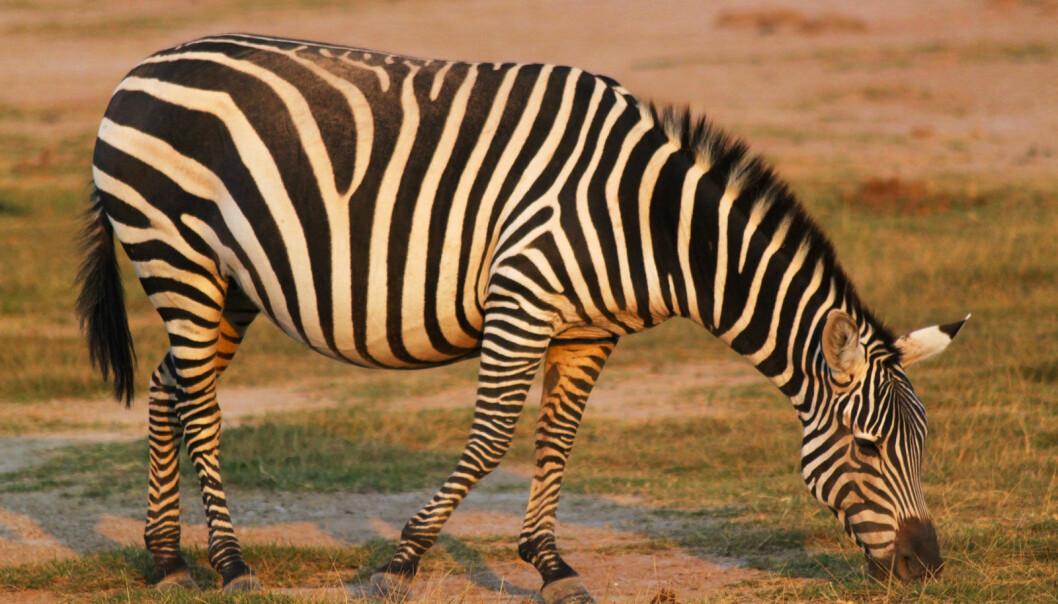 Sebraer lokkes i naturens egen dødsfelle i Namibia. (Foto: Microstock)