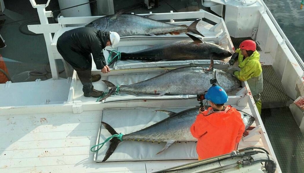 """DNA-analyser viser at verdas største tunfisk kryssar havet i utstrekt grad. """"Orfjord"""" tok årets første størjefangst utanfor Frøya i august. (Foto: Lars Kåre Kvila / «Orfjord»)"""