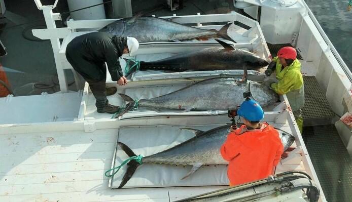 – Makrellstørjene i Nord-Atlanteren er grenselause
