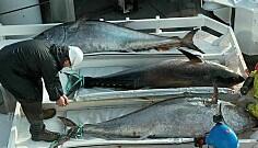 Makrellstørjene i Nord-Atlanteren er grenselause