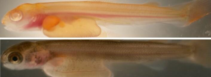 Det øverste bildet viser en lakseyngel med mutert albinogen, og dermed mangler fargepigmentene. Det nederste bildet  viser en lakseyngel med normal pigmentering. (Foto: Havforskningsinstituttet)