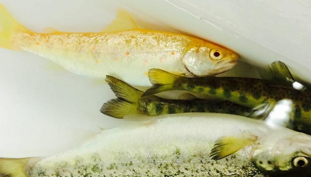 Den delvis gule fisken mangler pigmentering etter at albinogenet har mutert. De andre fiskene har naturlig pigmentering. Alle fiskene er ett år gamle. (Foto: Havforskningsinstituttet)