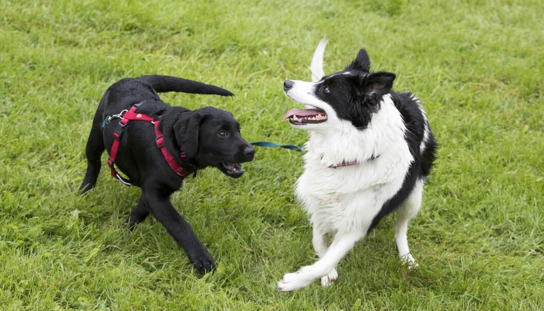 Hundesykdommen i Norge har skapt bekymring blant hundeeiere. Nå innføres det et nytt helseregister for dyr. (Foto: Terje Pedersen / NTB scanpix)