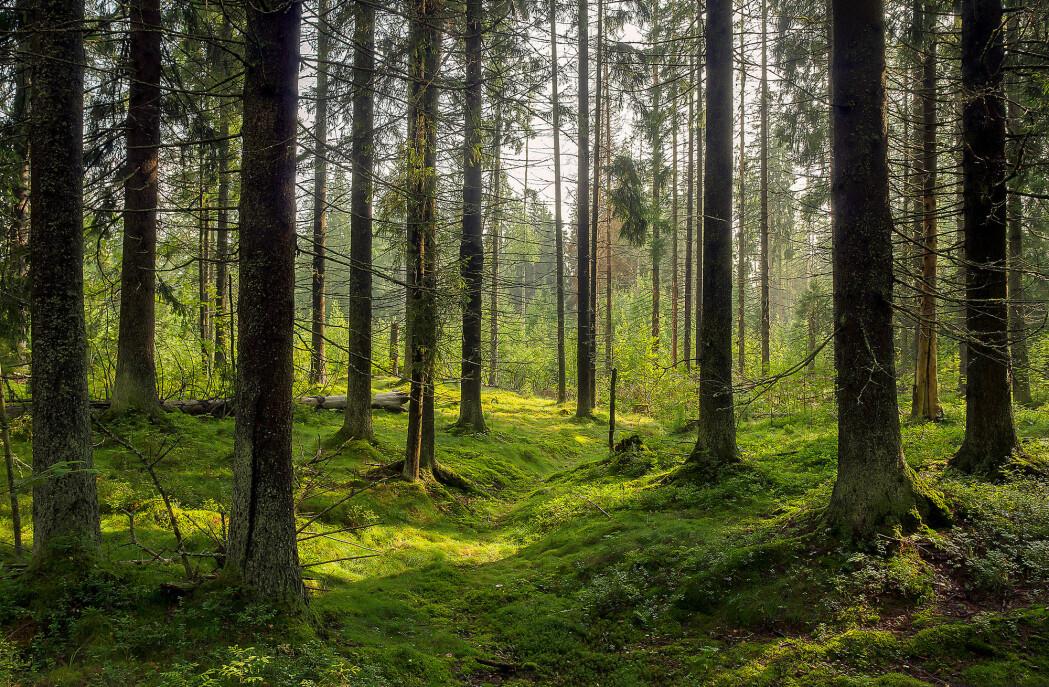 EU-landene er for øyeblikket avhengig av å brenne trær for å nå de ambisiøse klimamålene sine. Fellesskapets mål er at 32 prosent av energien skal være fornybar innen år 2030. Men hva om den klart viktigste alternative energikilden i Europa – bioenergi – ikke er klimavennlig? (Foto: Lillac / Shutterstock / NTB scanpix)