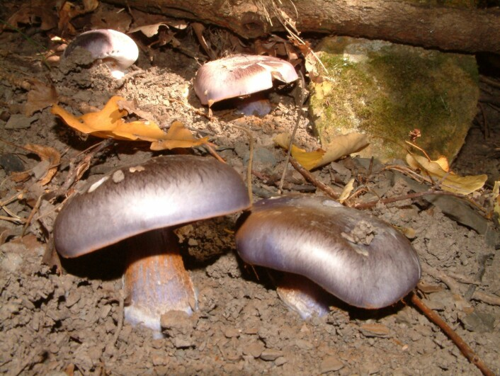 Indigoslørsopp (Cortinarius eucaeruleus) er en annen kalklindeskogsart som også har fått med seg at det har vært party-time under de urgamle lindetrærne i høst. (Foto: Olav Skarpaas, NINA)