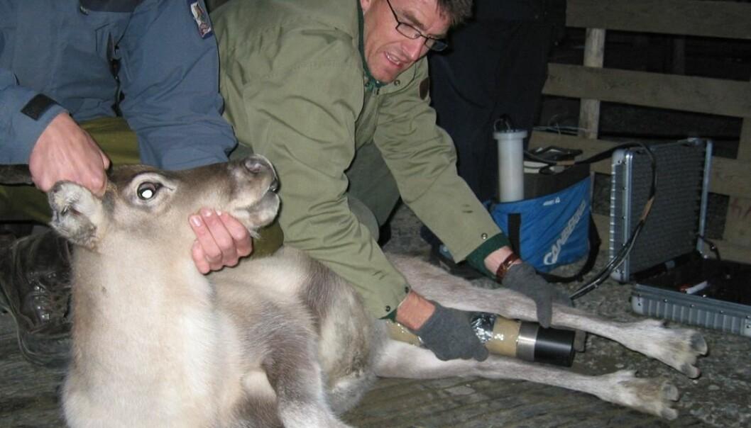 Lavrans Skuterud, seniorforsker ved Statens strålevern, er overrasket over de høye nivåene av radioaktiv stråling de har funnet i reinsdyr og sau denne høsten. (Foto: Statens strålevern)