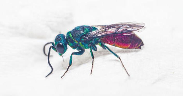 Gullveps er vakre insekter, men regnes også blant de vanskeligste insektgruppene å artsbestemme.  (Foto: Arnstein Staverløkk/NINA)