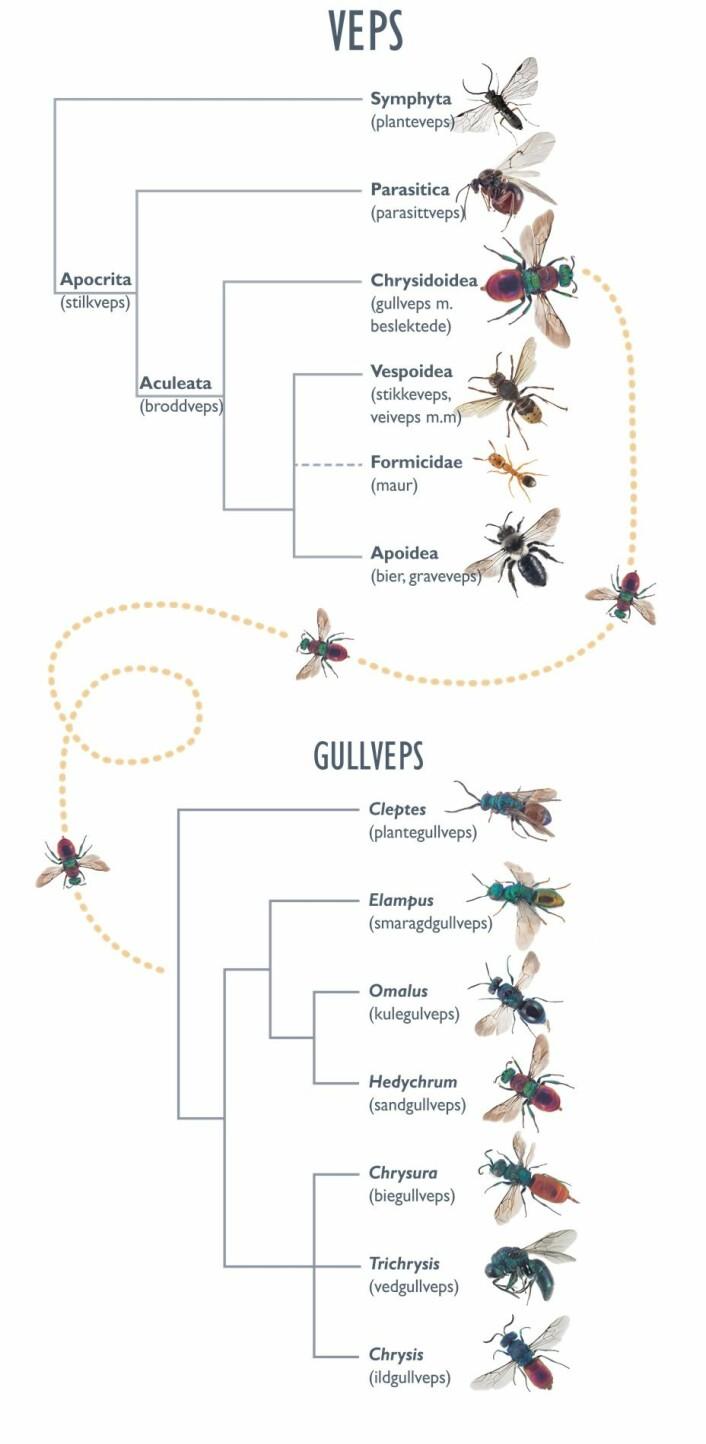 Figuren viser slektskapet mellom hovedgruppene av veps, inkludert inndelingen av broddveps (øverst), og de viktigste slektene av gullveps i Norge (nederst). (Foto: (Illustrasjon: Kari Sivertsen, NINA))