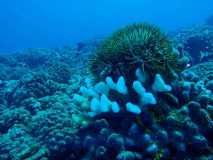 Sjøstjernen, tornekrone, etterlater et tomt skjelett etter å ha spist seg mett på korallen.  (Foto: Jenna Moore)