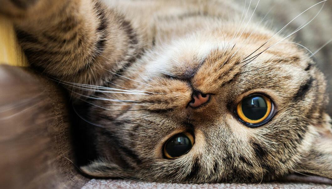 Katten mjauer nesten bare for deg