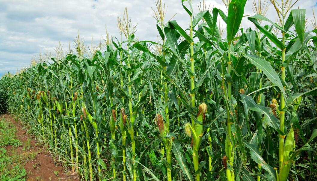 Før bioetanol kan bli en dominerende del av klodens energiforbruk, må finne ut hvordan de bruker restprodukter som råstoff, ikke matvarer. (Foto: Microstock)