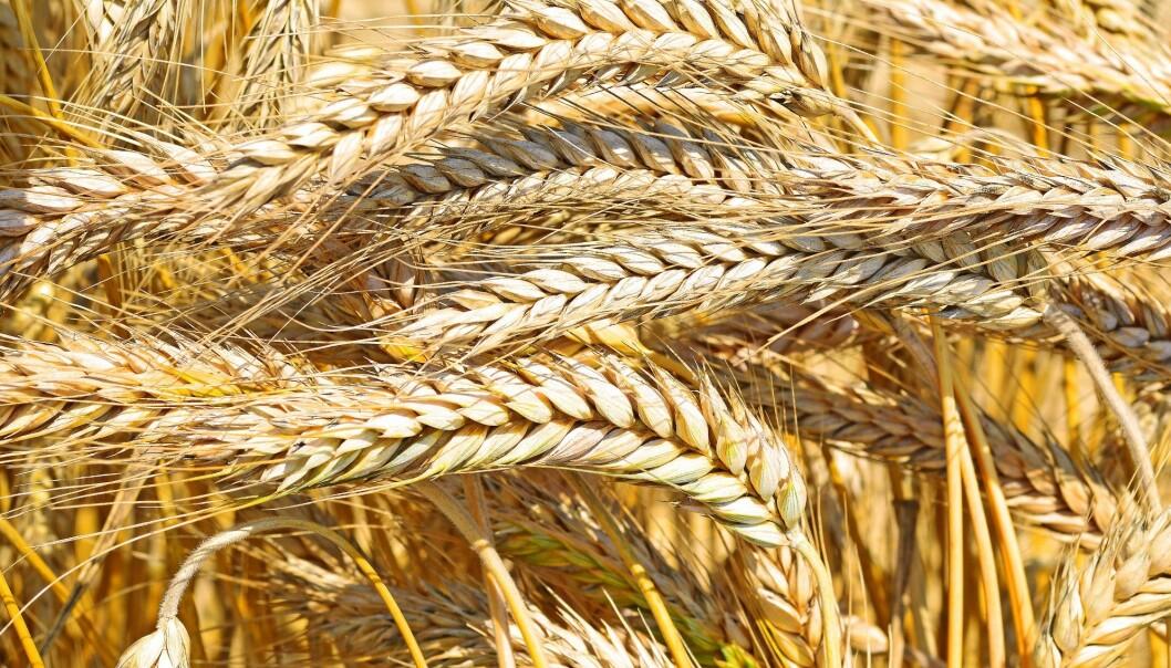 Forskere på Nofima har i samarbeid med kornbønder i Østfold utviklet en ny type bygg som utnytter denne næringsrike kornsorten enda bedre. Coop kommer i løpet av kort tid til å lansere syv nye produkter basert på den nye korntypen.  (Foto: Microstock)
