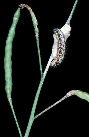 Parasittert larve av stor kålsommerfugl. (Foto: Erling Fløistad)
