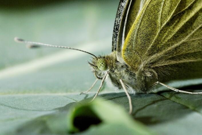 Den store kålsommerfuglen er skikkelig hårete når du ser nærmere på den.  (Foto: Erling Fløistad)