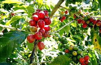 Climate change threatens coffee production: This is how farmers can adapt