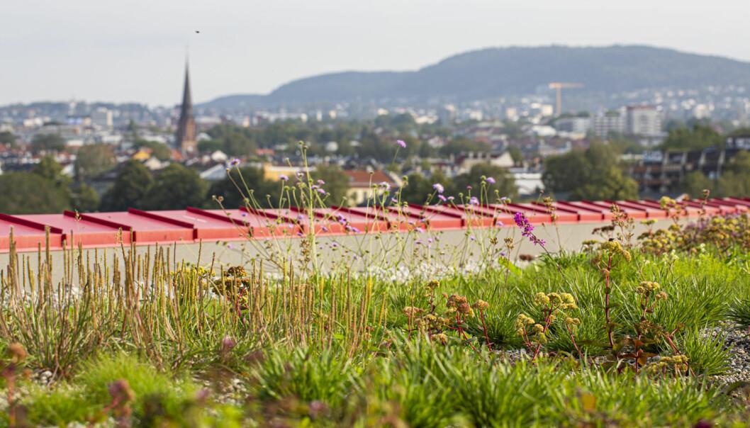 Det er hovedsakelig lavvokst vegetasjon som er etablert på taket til vega Scene i Oslo. (Foto: Asplan Viak ved Åse Holte)