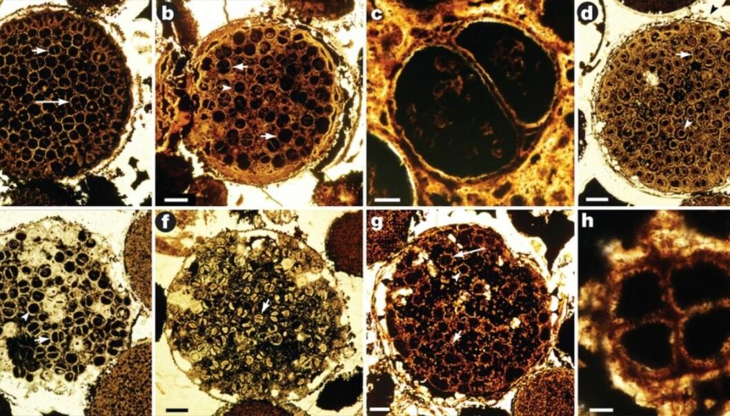 Ved å skjere steinar i tynne skiver og kikke på dei under eit godt opplyst mikroskop, kunne forskarane studere dei pittesmå fossila inni steinane nærare. (Foto: Lei Chen og Shuhai Xioao)