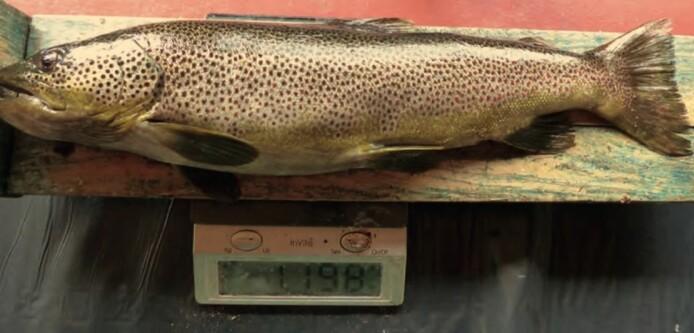 Denne ørreten på nesten 1,2 kilo hadde en lemen, en fjellmarkmus og en markmus i magesekken. (Foto fra forskningsartikkelen)