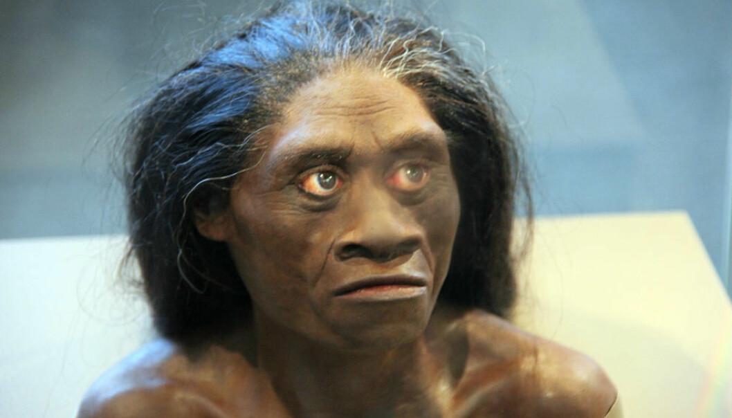 Homo floresiensis har kanskje ikke eksistert. Forskere mener i hvert fall å kunne bevise at det eneste kraniet fra arten stammer fra et vanlig menneske med Downs syndrom.  (Foto: Tim Evanson, Wikmedia Commons)