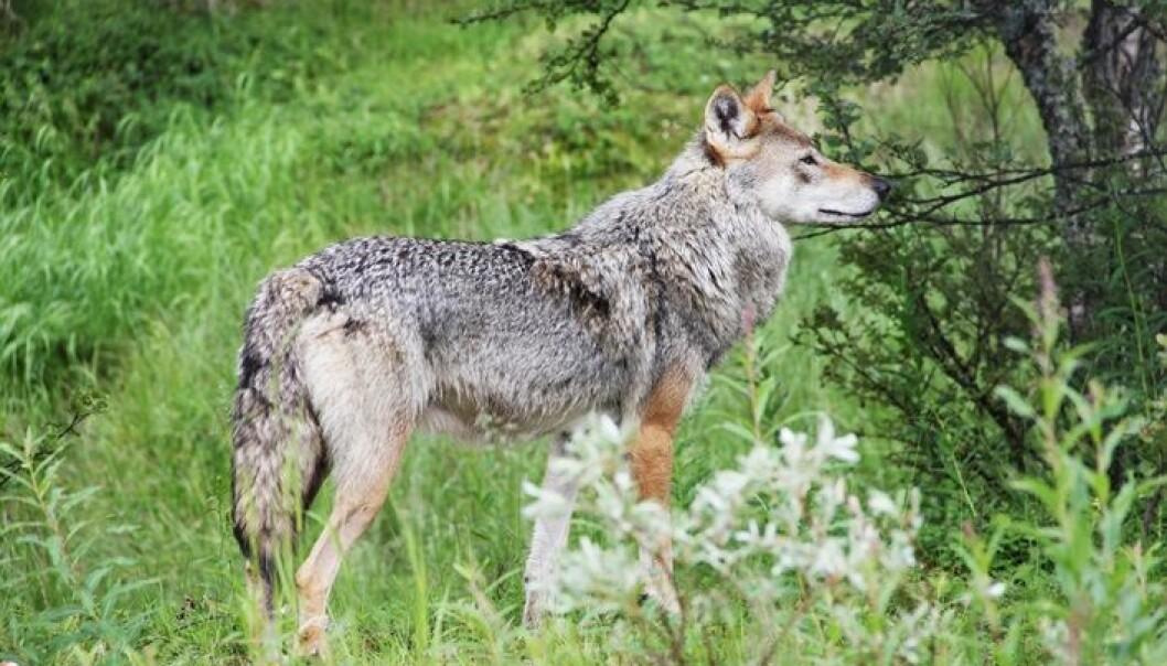 Ifølge kronikkforfatteren har forskning funnet flere løsninger på konflikten om rovdyrene. (Foto: Microstock)