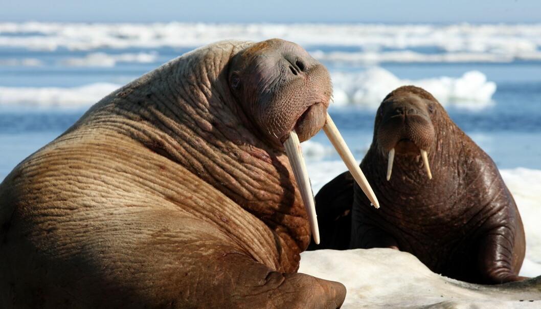 Hvalrossene har vært utsatt for mye jakt og ble totalfredet i 1950. De lever i dag blant annet ved Øst-Grønland, Svalbard og Frans Josefs land (Foto: tryton2011 / Shutterstock / NTB scanpix)
